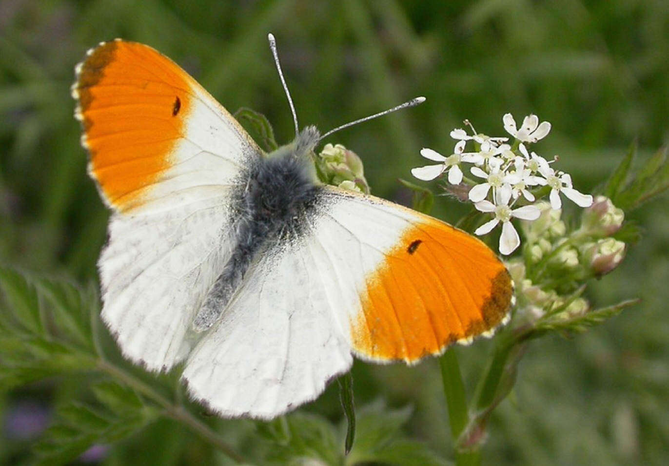 031a British Orange tip male upperside Stiffkey Norfolk001