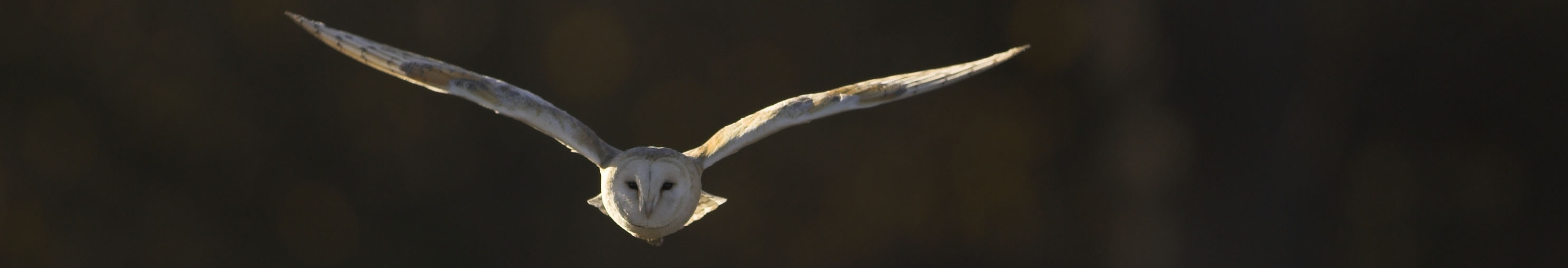 Barn Owl Hunting at Dusk 2
