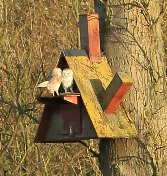 Barn owls on nestbox