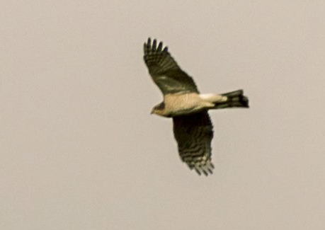 Goshawk photo over reserve on Sat 10th