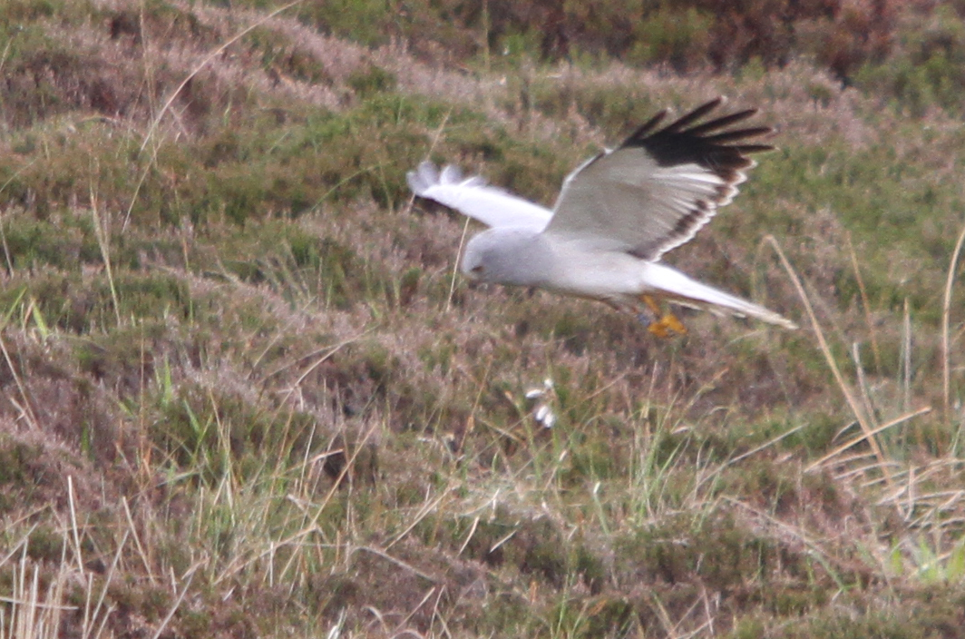 Hen Harrier 34