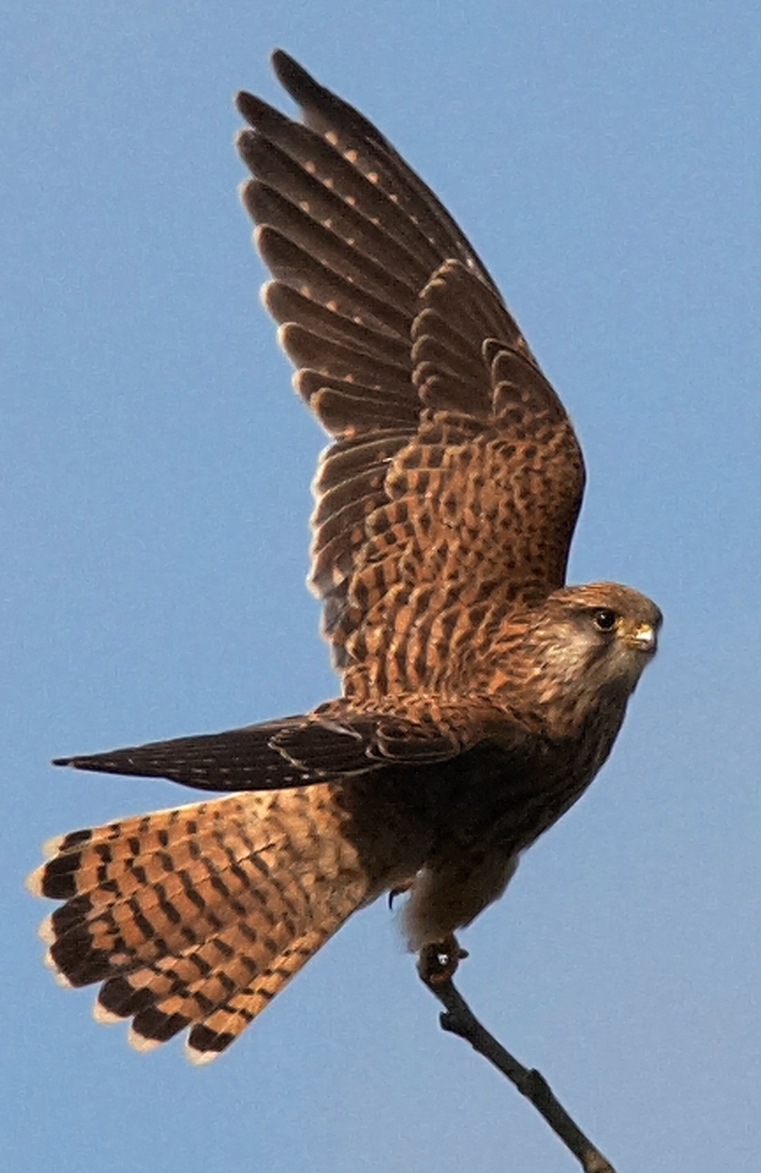 Kestrel female Anne Kerridge