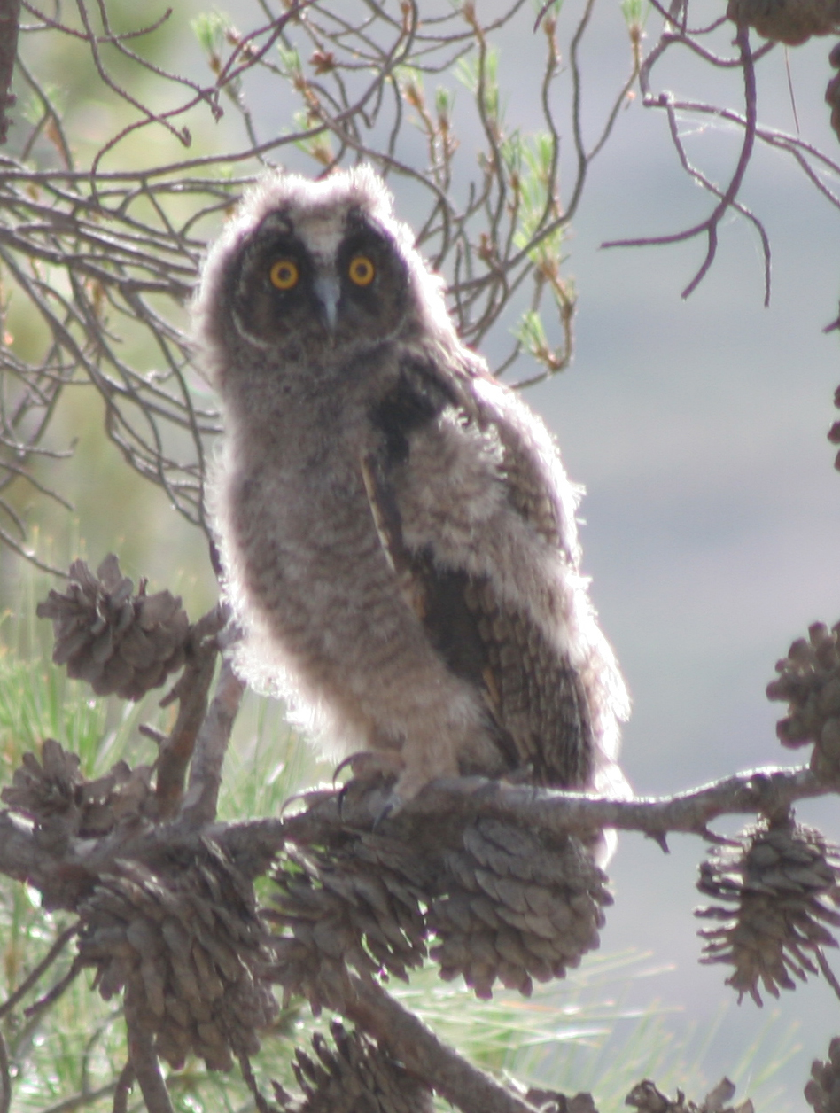 Long eared Owl 8