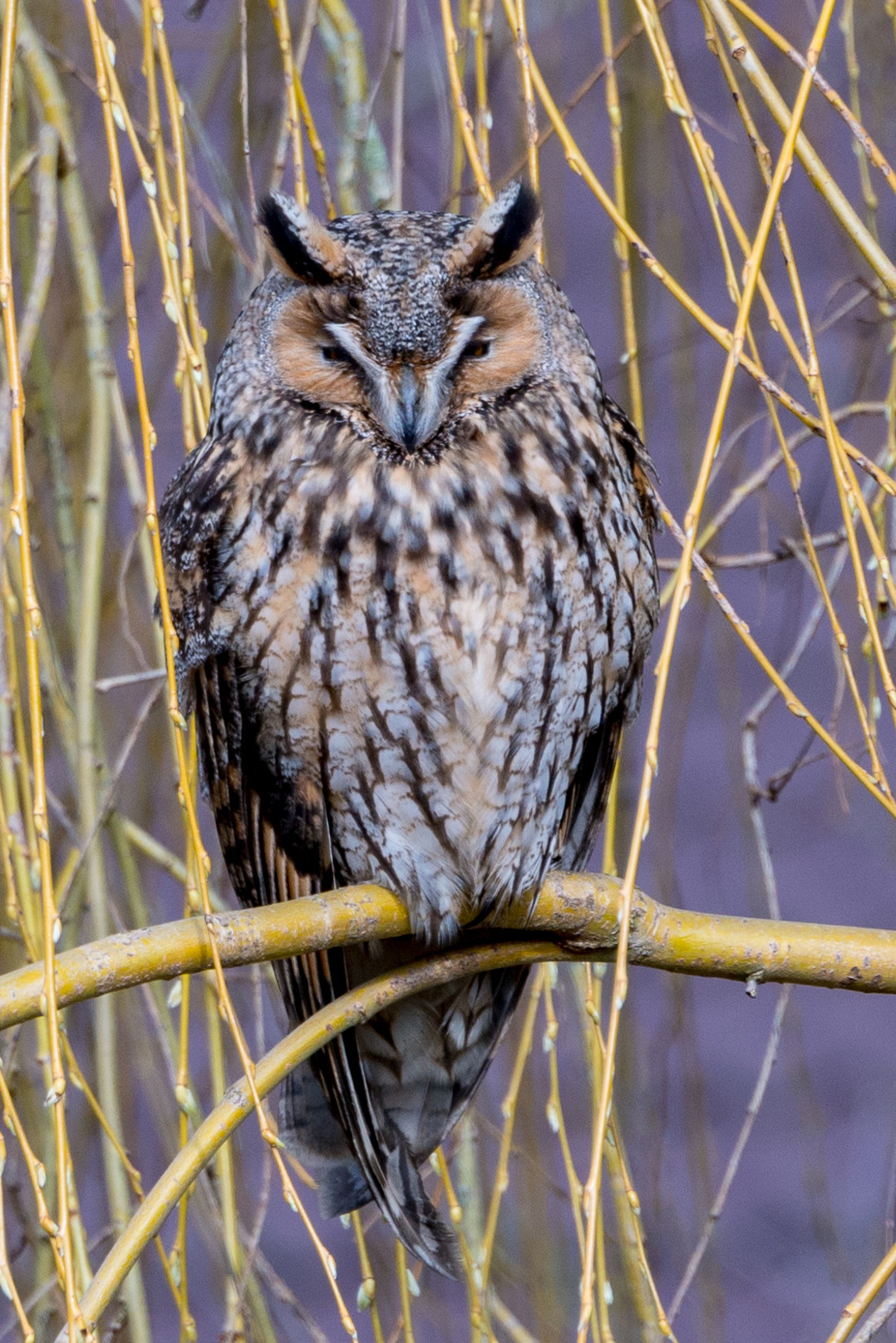 Long eared owl Jwh at Wikipedia Luxembourg