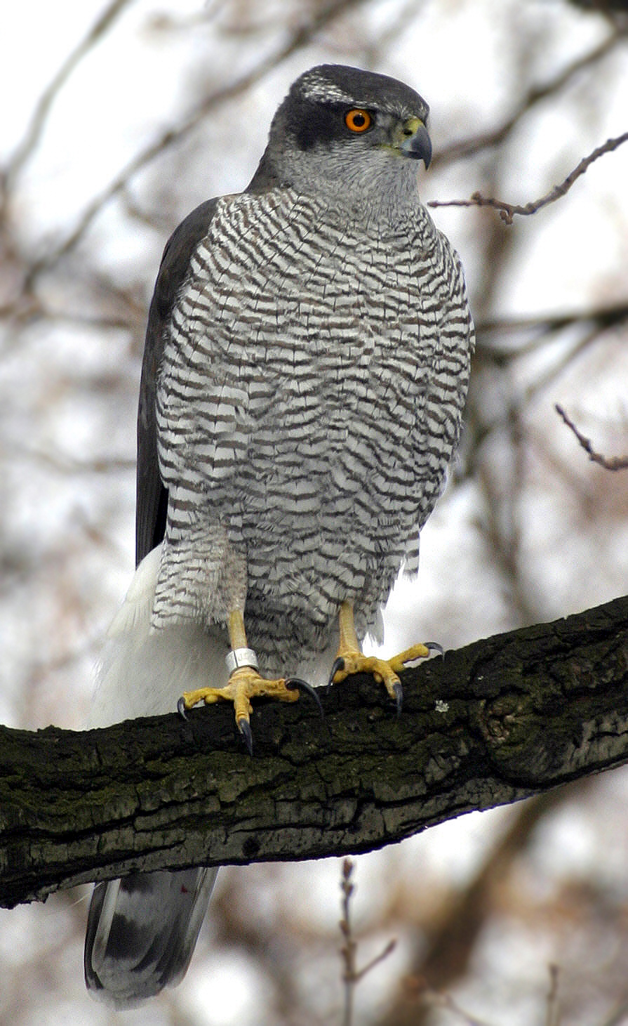 Northern Goshawk Norbert Kenntner