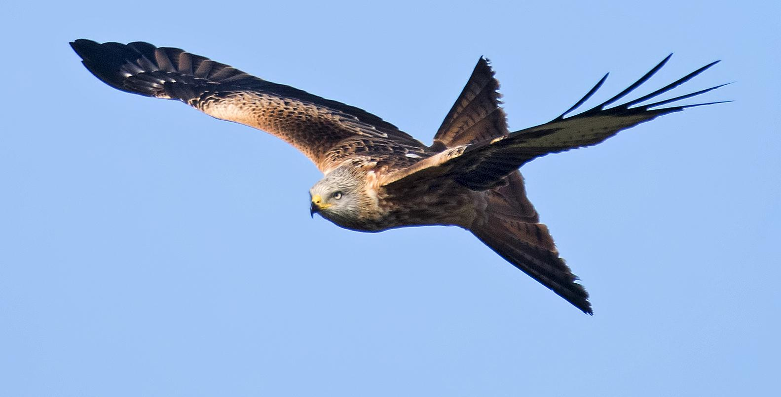 Red Kite Head on by Andy Thompson