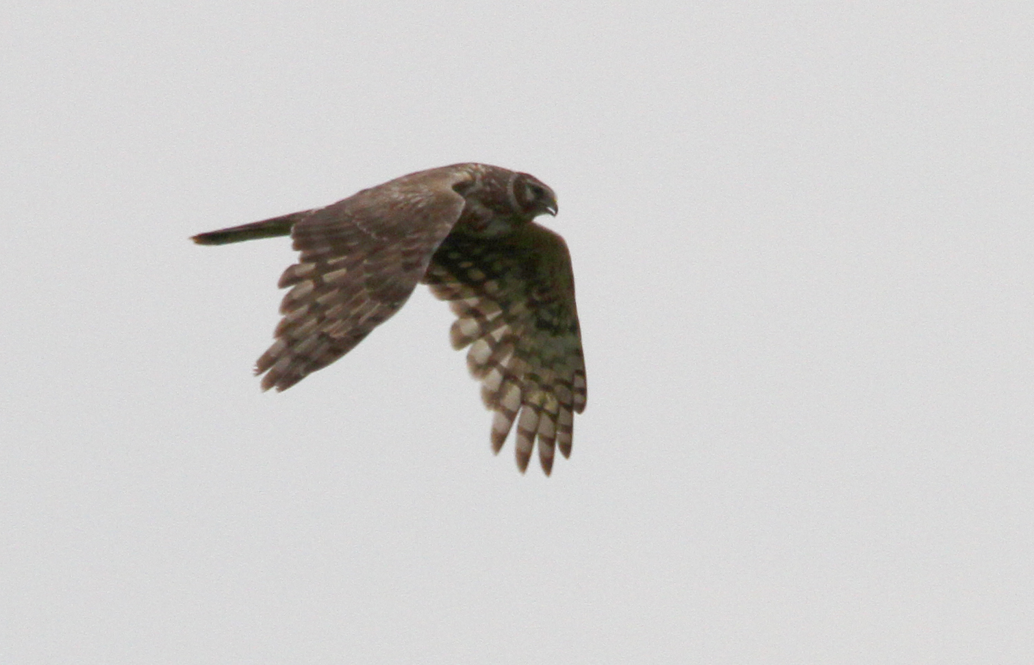 Ring tail Harrier 5