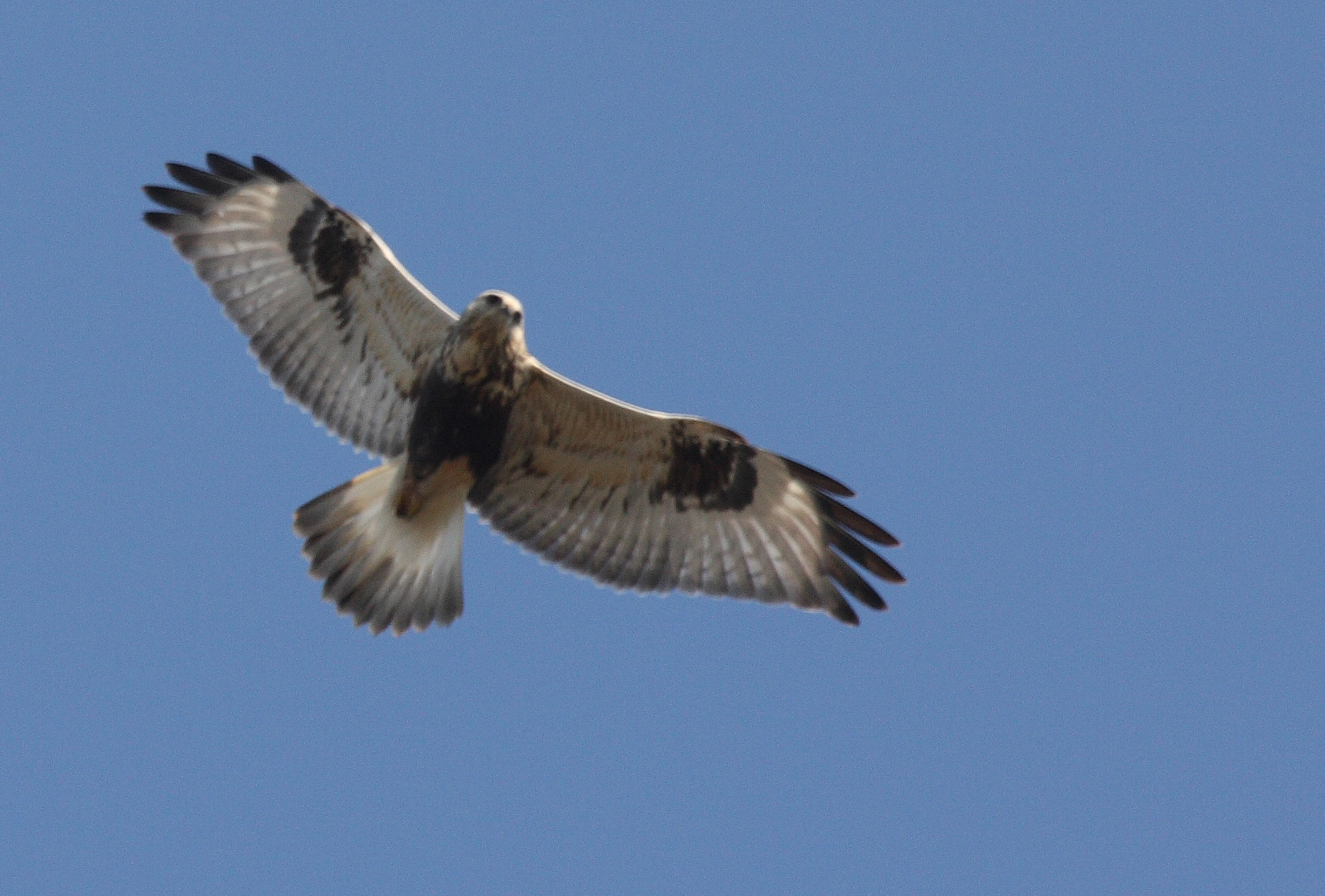 Rough legged Hawk Dominic Sherony