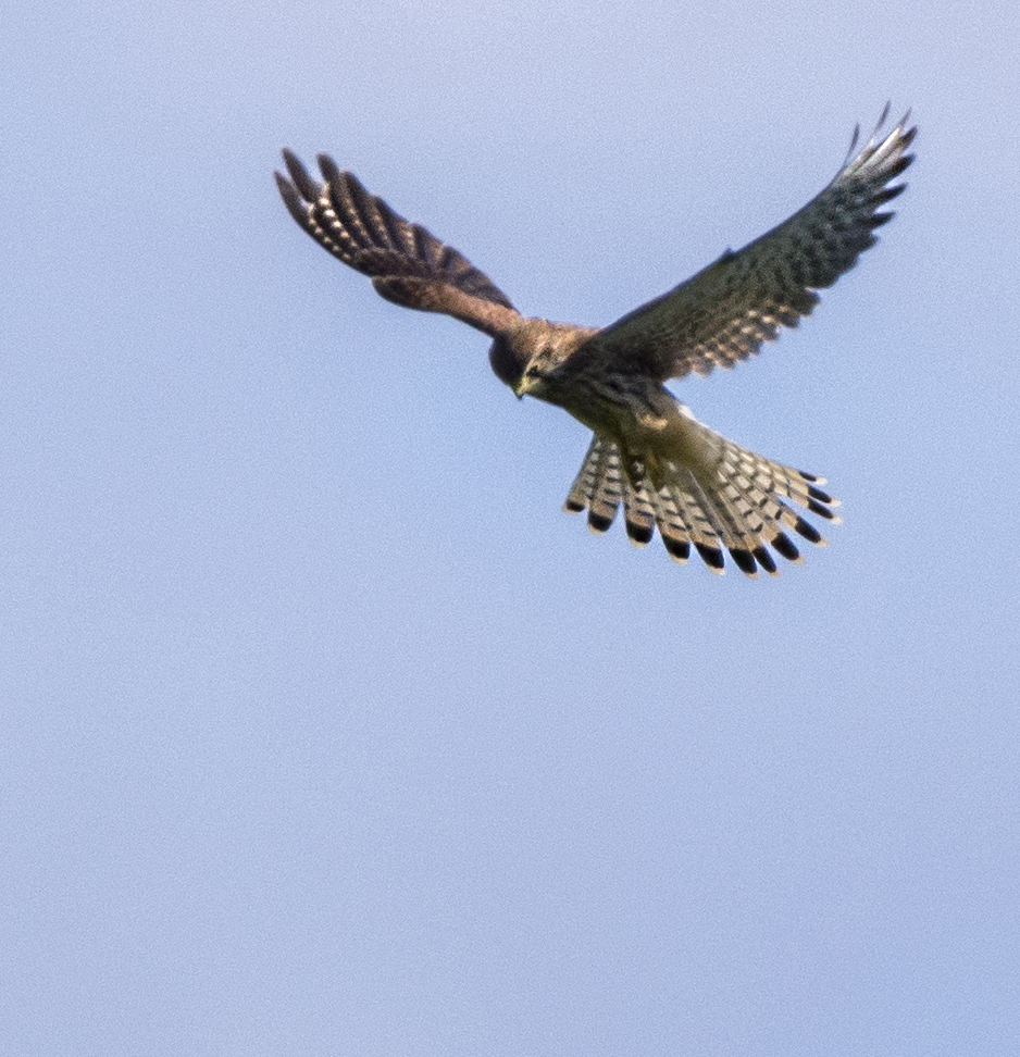 Hovering Kestrel