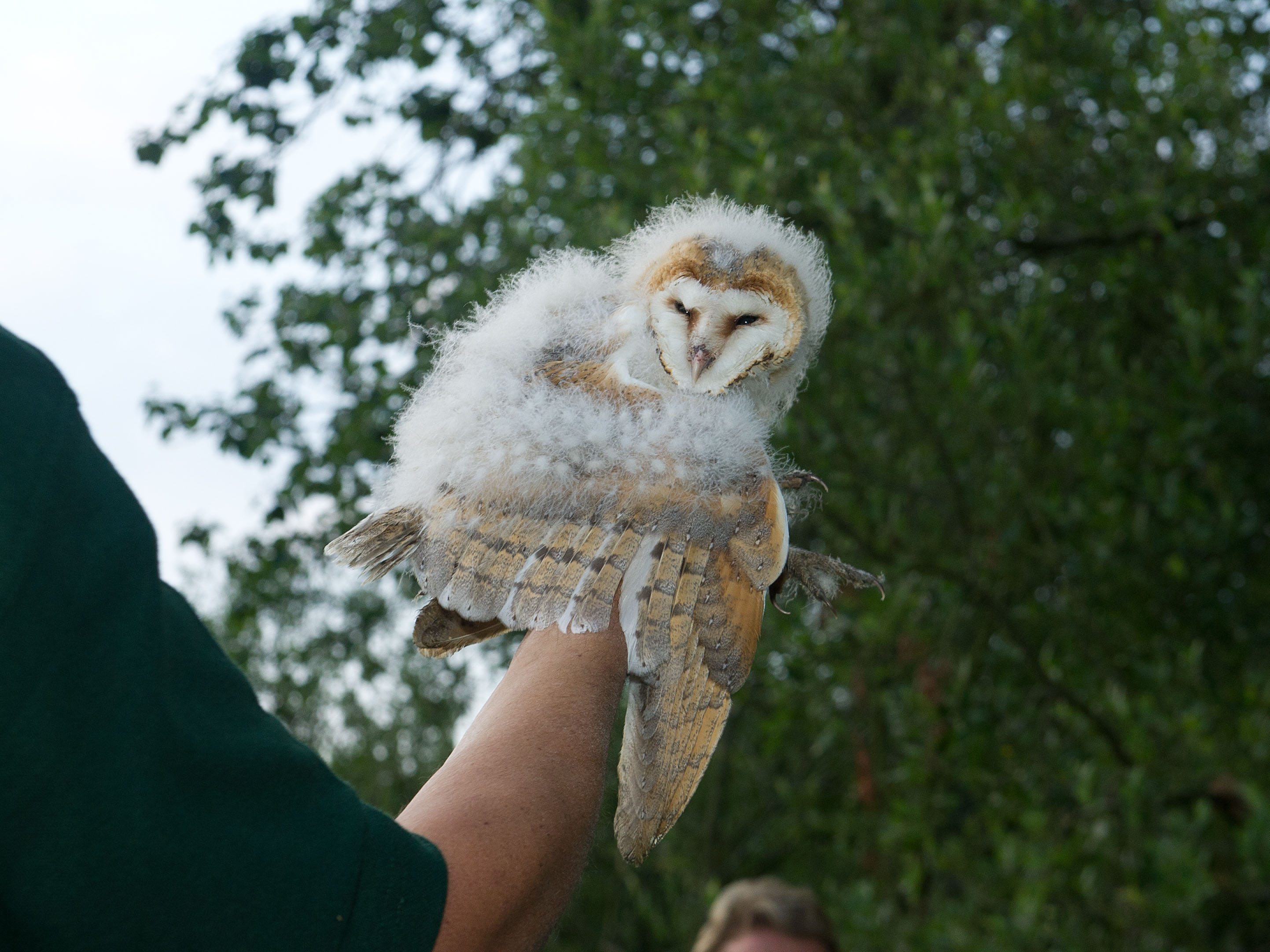 barn owl ringing. sculthorpe 040711 59