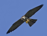 Sculthorpe Reserve and Peregrines TALK by Zoe Smith